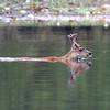 Sitka Black-tailed deer swimming near Ket