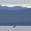 Breaching Humpback in Seymour Canal