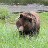 Brown (Grizzly) bear at Pack Creek