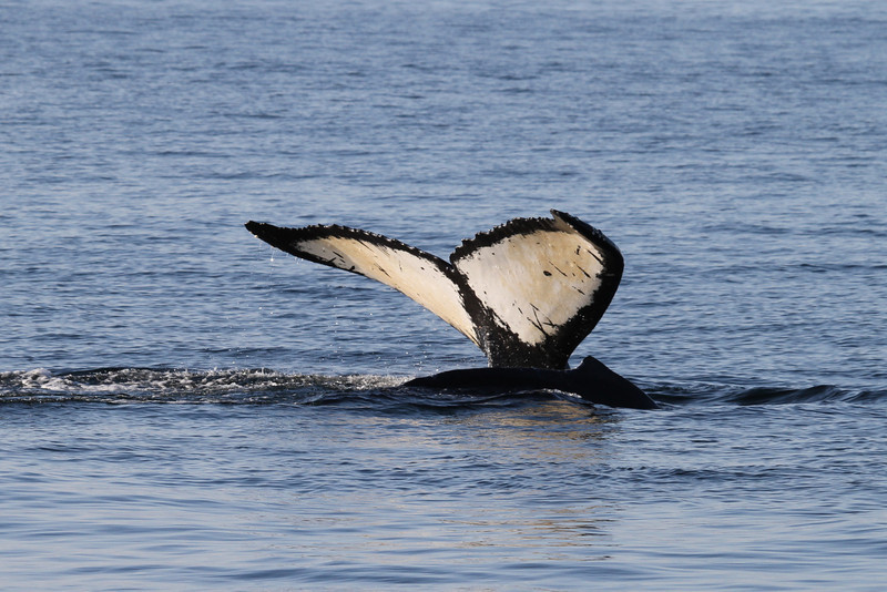 Humpback whale and calf in Hecate Strait