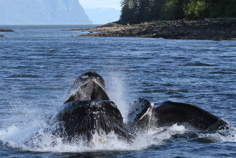 Lunge-feeding Humpbacks near Cape Strait