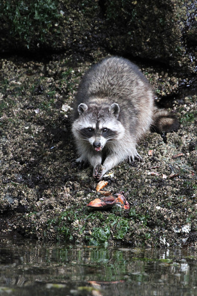 Racoon eating a crab