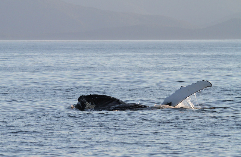 Lunge-feeding Humpback whale in Hecate Strait