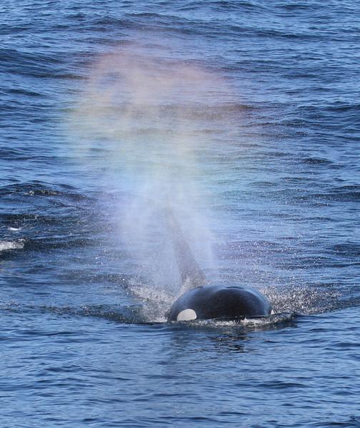 Orca off Cape St James