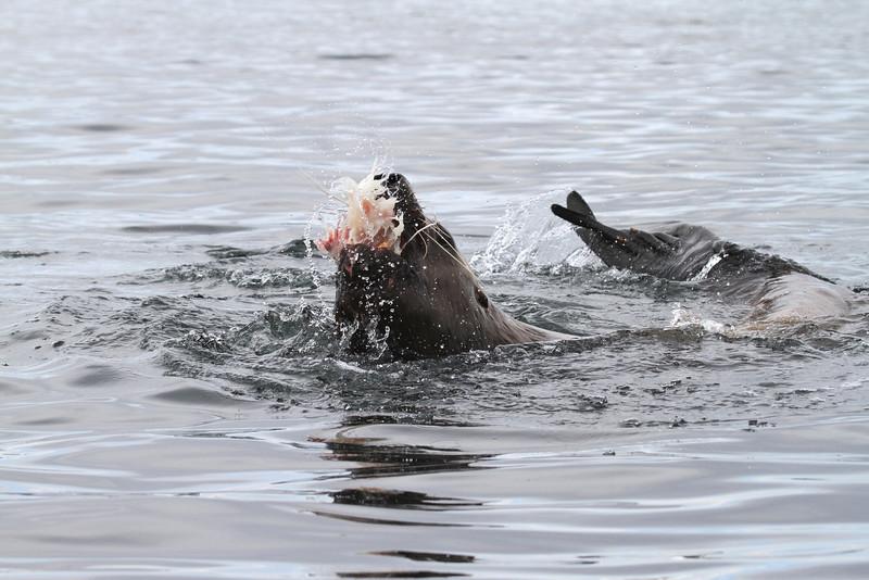 Steller sea lion feeding near The Brothers