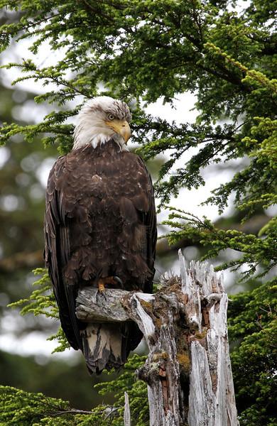 Bald Eagle lookout at Sgang Gwaii