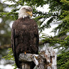 Bald Eagle lookout at Sgang Gwaii