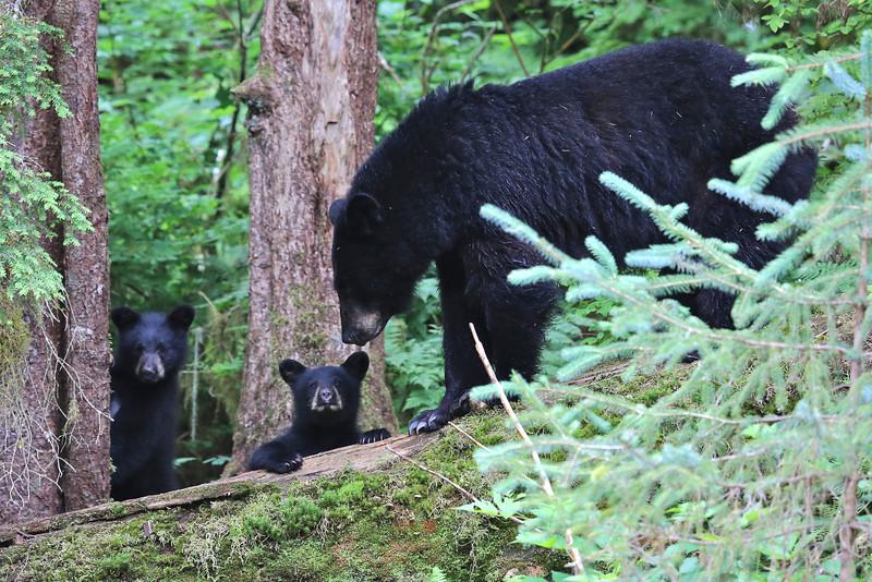 Black bear and cubs at Anan Creek