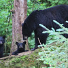 Black bear and cubs at Anan Creek