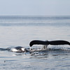 Humpback whales in Hecate Strait