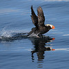 Tufted Puffin near Lyman Point