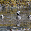 Curious Harbour Seals