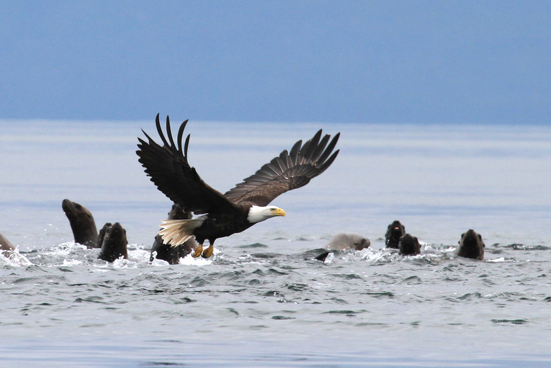 Steller sea lions near The Brothers being hassled by a Bald Eagle