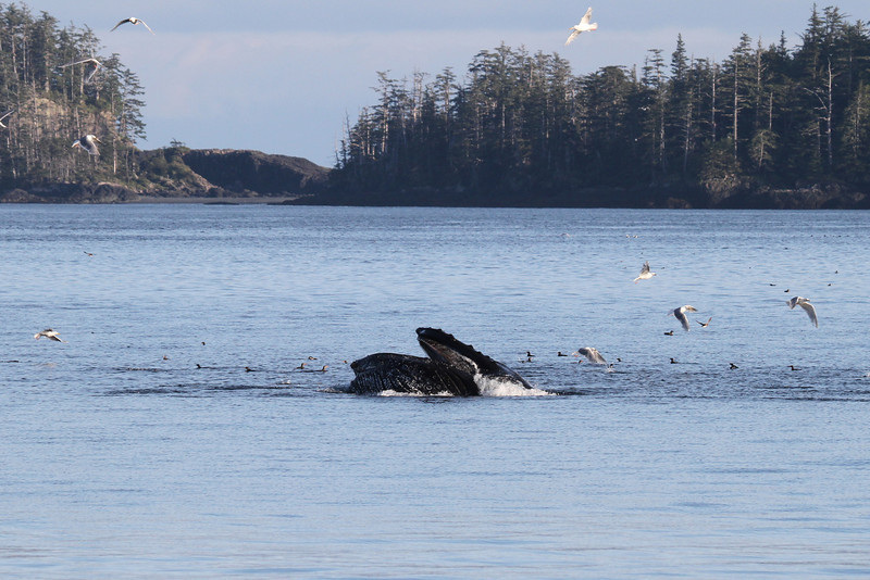 Lunge-feeding Humpback near the Gordon Islands