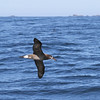 Black-footed Albatross off Cape St James