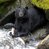 Black bear fishing at Anan Creek