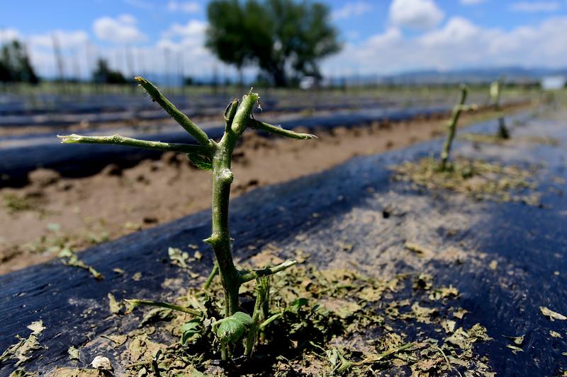 Hail Damage Crops Kilt Farm