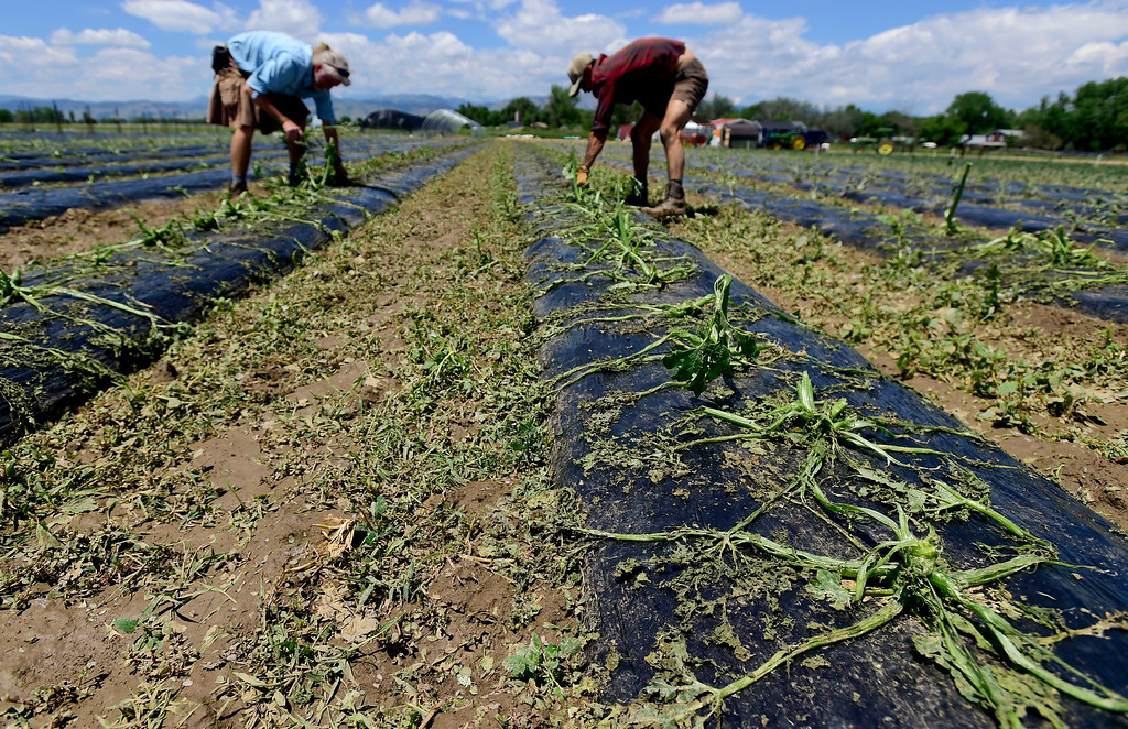 . From left: Owner and Farmer Michael Moss and Field Manager Kyle Johnson removed hail damaged zucchini crops at Kilt Farm between Longmont and Niwot, Colorado on June 20, 2018. (Photo by Matthew Jonas/Staff Photographer)