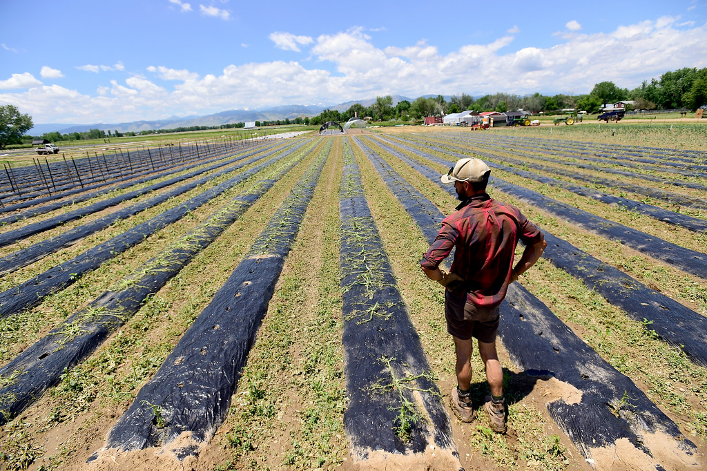 . Field Manager Kyle Johnson looks over hundreds of hail damaged crops, including tomatoes, zucchini and cucumbers at Kilt Farm between Longmont and Niwot, Colorado on June 20, 2018. Many of the crops will be replanted. (Photo by Matthew Jonas/Staff Photographer)