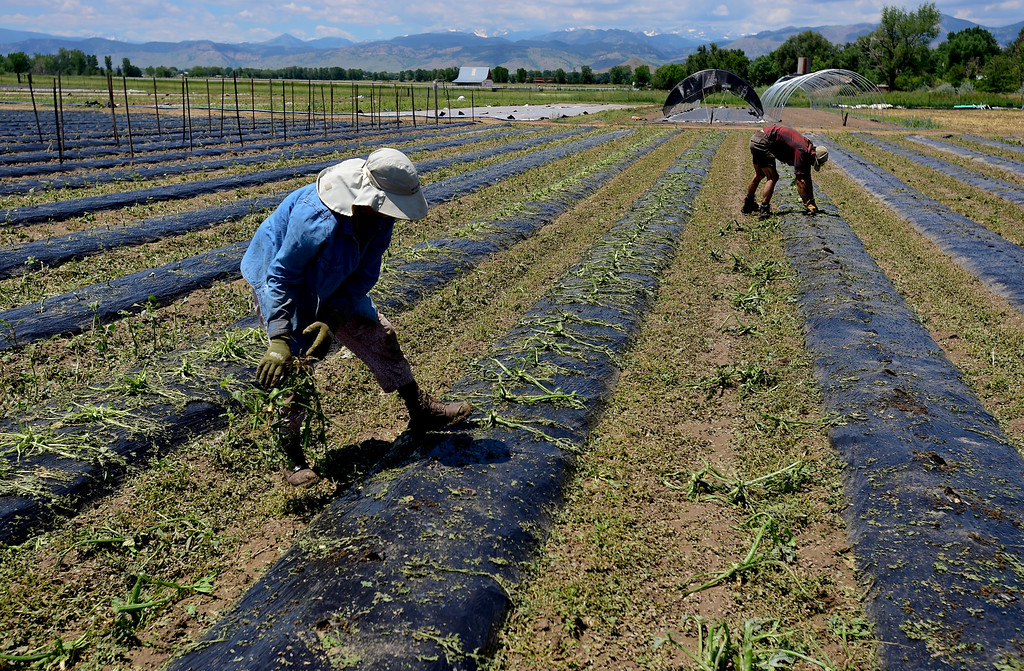. From left: Crew member Eliza Paterson and Field Manager Kyle Johnson remove hail damaged crops at Kilt Farm between Longmont and Niwot, Colorado on June 20, 2018. (Photo by Matthew Jonas/Staff Photographer)