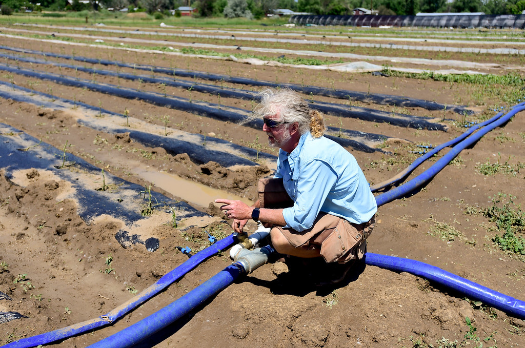 . Owner and Farmer Michael Moss opens irrigation pipes to the roots of hail damaged crops at Kilt Farm between Longmont and Niwot, Colorado on June 20, 2018.  (Photo by Matthew Jonas/Staff Photographer)