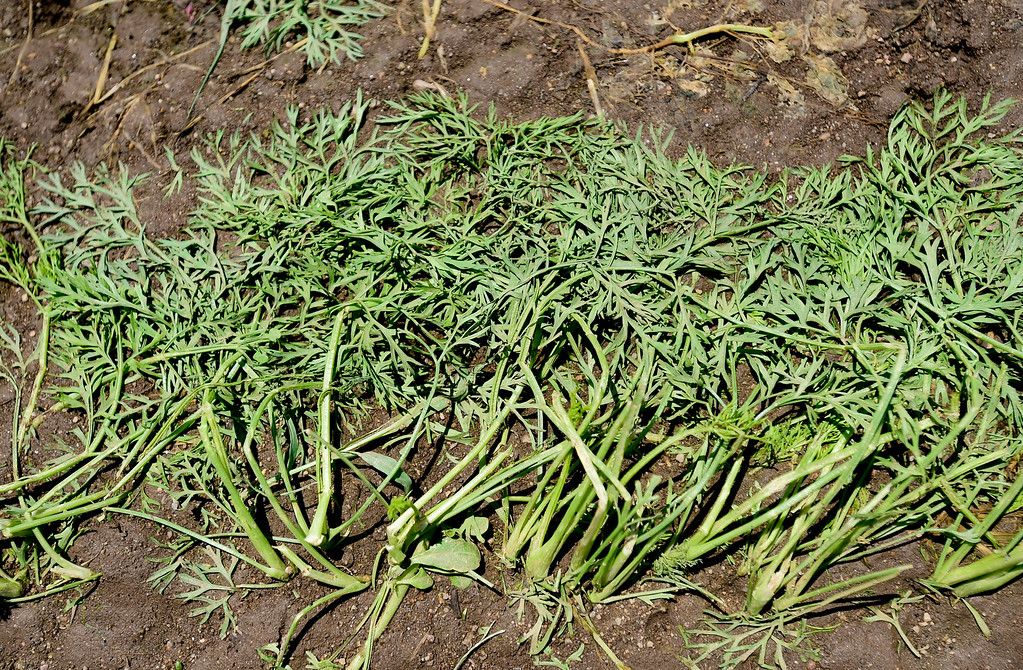 . Bent and hail damaged carrot crops are seen after being uncovered at Kilt Farm between Longmont and Niwot, Colorado on June 20, 2018. (Photo by Matthew Jonas/Staff Photographer)