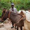 Haiti water mule animal