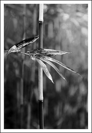 Bamboo at Otamagaike.  High contrast B&W