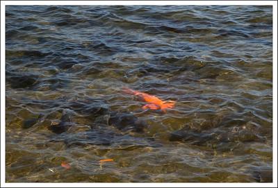 An orange carp swimming amongst a lot of black ones.