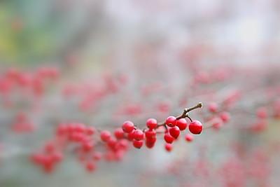 Berries in the fog.