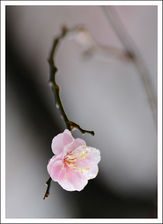 A plum blossom in the rain.  I don't remember where this was taken.