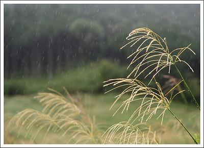 Wild pampas grass in the rain