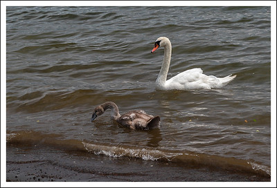 A swan and cygnet.