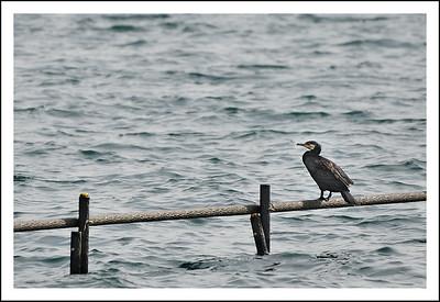 A cormorant at Lake Ashi