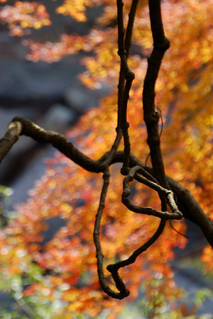Bare vines against orange maples.