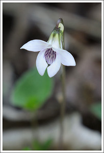 A small white violet growing along the path.