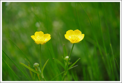Wild buttercups at Daimonji Yaki.