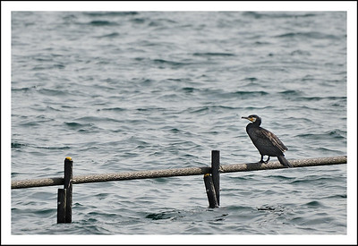 A cormorant at Lake Ashi