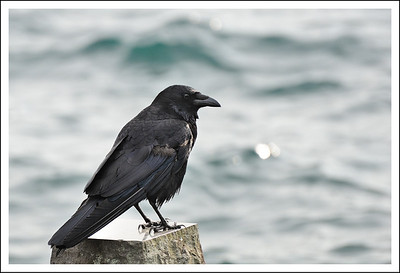 Another crow.  Notice the lack of the big humped forehead.