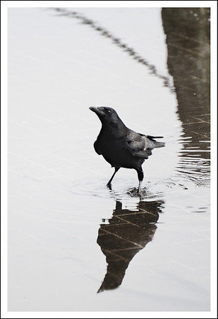 One of the many crows we saw.  These are a little smaller than the large jungle crows we see in Tokyo.