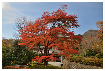 This maple tree is right in front of our apartment and gives us lots of pleasure every fall.