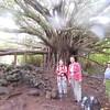 banyan tree along Pipiwai trail