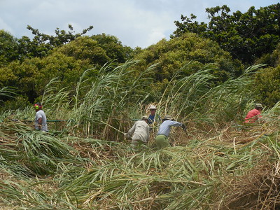 removing cane grass in the Kipahulu visitor center's leach field