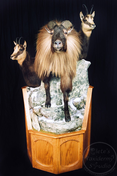 tahr and chamois