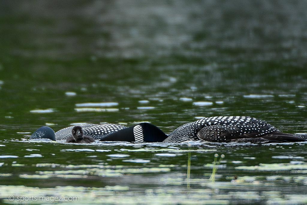 Halfmoon Lake Loon Hatch