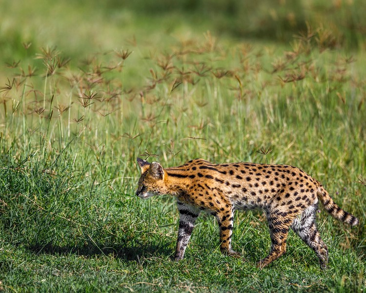 Wet Serval