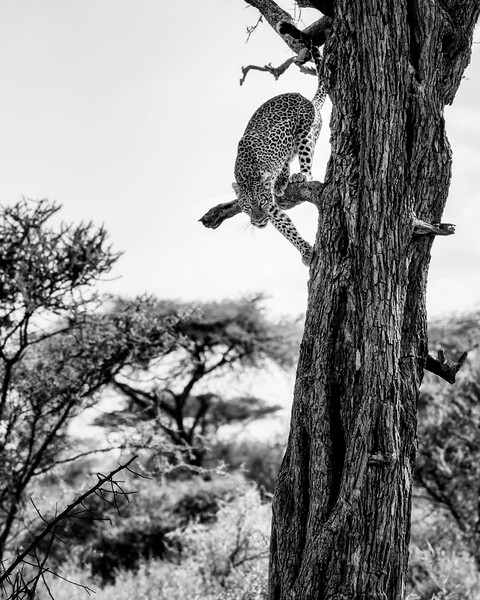Leopard descending from its afternoon nap in a tree.