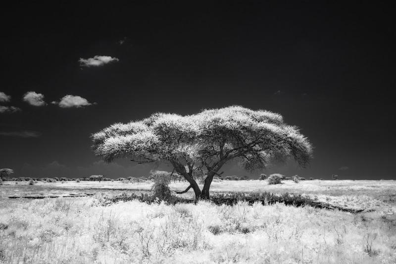 Acacia tree, Infrared