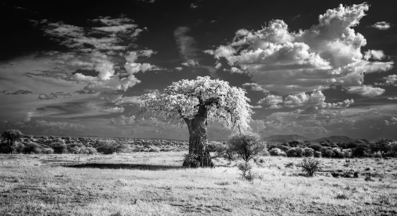Baobab tree in infrared