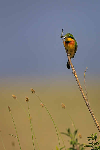 European Bee Eater with a moth